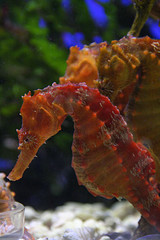 Image of a seahorse